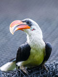Von Der Deckens Hornbill. (Tockus deckeni) is a hornbill found in East Africa, especially to the east of the East African Rift, from Ethiopia south to Tanzania Royalty Free Stock Image