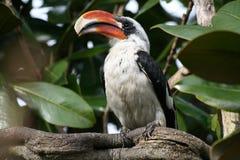 Von der Deckens Hornbill (Toucan) Stock Photo
