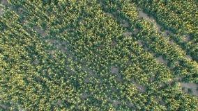 Von der Luft - fliegender Brummenschuß von schön gelben Rapsblumen auf dem Gebiet stock video