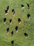 Von der Luftdraufsicht einer Kuhherde stockfotografie