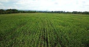 Von der Luftgesamtlänge auf Lager des grünen Getreidefelds stock footage