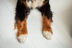 Von der oben genannten Ansicht an den Tatzen des Bernen Sennenhunds im Innenraum stockbild