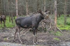 Von einem Elch bewirtschaften Sie auf Ed in Schweden, Mann Stockbild