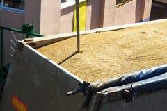 Von einem Korn-beladenen Lastwagen Korn für Analyse nehmen, verarbeitendes Korn, Körnchen lizenzfreies stockfoto