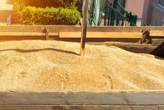 Von einem Korn-beladenen Lastwagen nehmen Sie Korn für Analyse, das verarbeitende Korn, Analysekern Stockfotografie