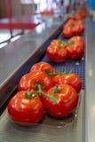 Von frischen reifen roten Tomaten auf Rebe herein sortieren und Pack-Band lizenzfreies stockfoto
