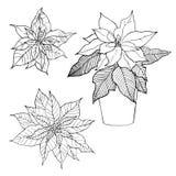 Von Hand gezeichnete Blumen Poinsettia, Weihnachtsstern Stockfoto