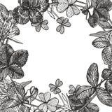 Von Hand gezeichnete grafische Kleeblumenillustration Gemaltes botanisches drei-leaved Wiesengras, lokalisiert auf weißem Hinterg stock abbildung