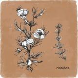 Von Hand gezeichnete Illustration von Rooibos Vektor stock abbildung