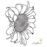 Von Hand gezeichneter Sonnenblumen-Seitenansicht-Vektor Stockbild