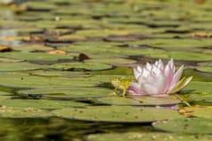 Von heraus treten die Lilie Stockfotos
