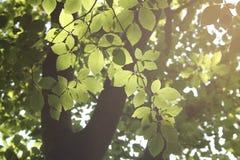 Von hinten beleuchtete Blätter Lizenzfreie Stockbilder