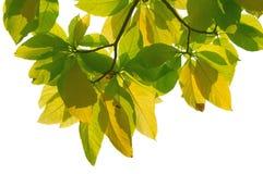 Von hinten beleuchtete Blätter lizenzfreie stockfotografie