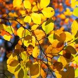 Von hinten beleuchtete Blätter auf einem Baum im Herbst Stockbild