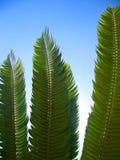 Von hinten beleuchtete Cycad-Blätter Stockfotos