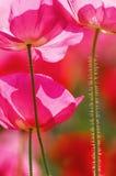 Von hinten beleuchtete Mohnblume-Blumen Stockfotos