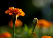 Von hinten beleuchtete Ringelblume lizenzfreie stockfotos