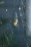 Von hinten beleuchtete Spinne in seinem Web Stockfotos