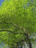 Von hinten beleuchteter Baum Stockbilder