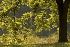 Von hinten beleuchteter Walnuss-Baum Lizenzfreie Stockbilder