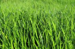 Von hinten beleuchtetes Gras Stockfotografie