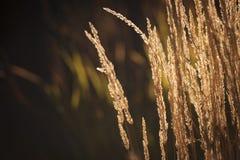 Von hinten beleuchtetes hohes Gras Lizenzfreies Stockbild