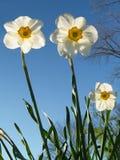 Von hinten beleuchtetes Jonquils von unterhalb, Frühling Lizenzfreies Stockbild