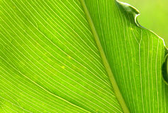 Von hinten beleuchtetes Palmblatt Stockfotos