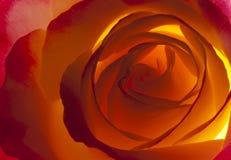 Von hinten beleuchtetes Rosen-Makro Stockbild
