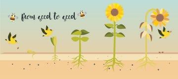 Von Samen zu Samenpflanzewachstumsprozess Lizenzfreie Stockbilder
