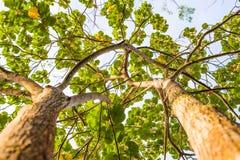 Von unterhalb der Ansicht den Baum oben schauen Lizenzfreie Stockfotos