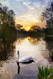 Vondelpark swan Stock Photography