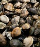 Vongole dei molluschi Immagini Stock Libere da Diritti