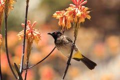 Vont l'oiseau parti Namibie Image stock