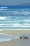 vont la mer prête de lions à Photos libres de droits