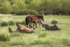 Vontades do grupo que pastam e que jogam cavalos Fotografia de Stock Royalty Free