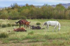 Vontades do grupo que pastam e que jogam cavalos Fotografia de Stock