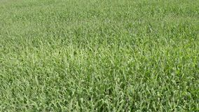 Voo aéreo sobre o campo da planta de milho verde Campo agricultural vídeos de arquivo