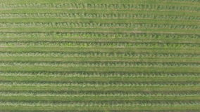 Voo aéreo sobre o campo verde da planta das árvores de maçã filme