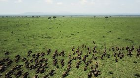 Voo aéreo sobre o debandada do búfalo no safari Mikumi de Tanzânia filme
