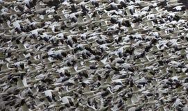Voo abstrato dos milhares dos gansos de neve fotografia de stock