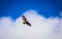 Voo alemão da águia Fotografia de Stock Royalty Free