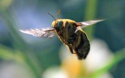 Voo amarelo da abelha imagens de stock