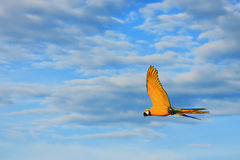 Voo amarelo dos pássaros da arara Imagens de Stock