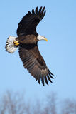 Voo americano da águia americana Foto de Stock