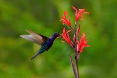 Voo azul de Violet Sabrewing do colibri ao lado da flor vermelha bonita, jardim verde borrado no fundo Pássaro no natu Imagens de Stock
