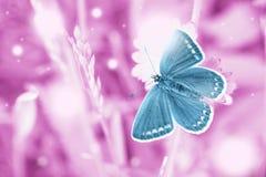 Voo azul mágico da borboleta no campo cor-de-rosa imagem de stock