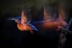 voo Azul-orelhudo do martinho pescatore Imagem de Stock