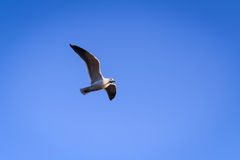 Voo bonito da gaivota no céu foto de stock royalty free