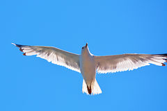 Voo branco bonito da gaivota no céu azul perfeito foto de stock